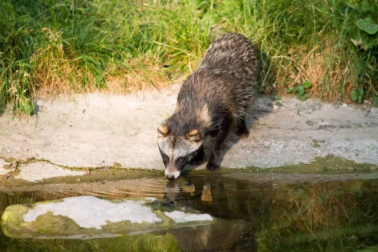狸猫其实是只土狗子。你没看错,土,狗,子! - 老泉 - 把酒临风的博客