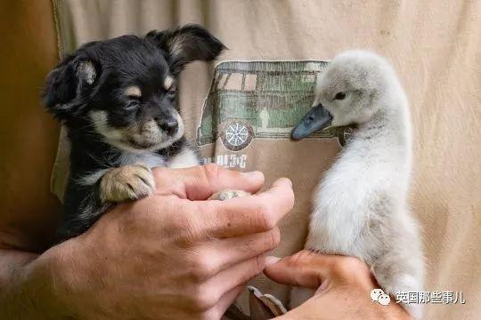小天鵝被大叔救助,卻不願再回歸自然,從此賴上大叔的懷抱