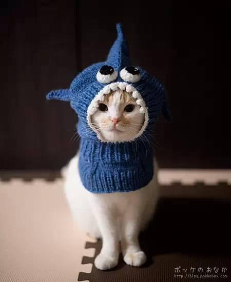 今天的小猫咪,   是来自日本的苏格兰折耳猫