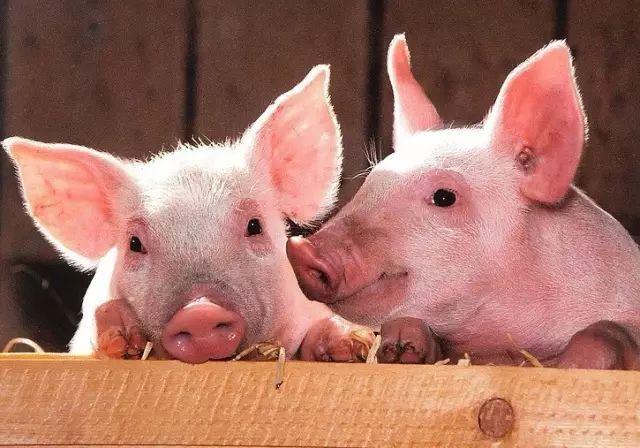 猪弟一性交_中国本土家猪是第一代驯化家猪的直系后代.
