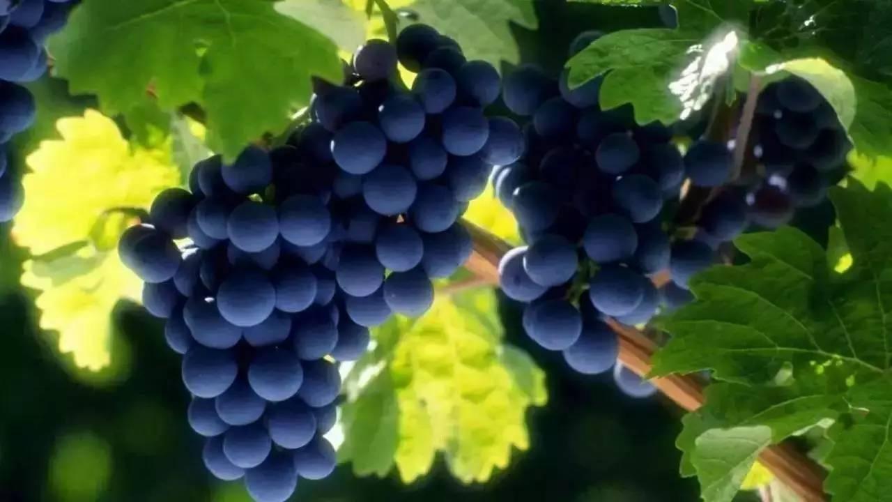 吃冻葡萄对身体有害吗 冻了3个月的葡萄能吃吗